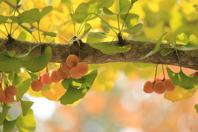 은행나무 열매에서는 고약한 냄새가 난다. - pixabay 제공
